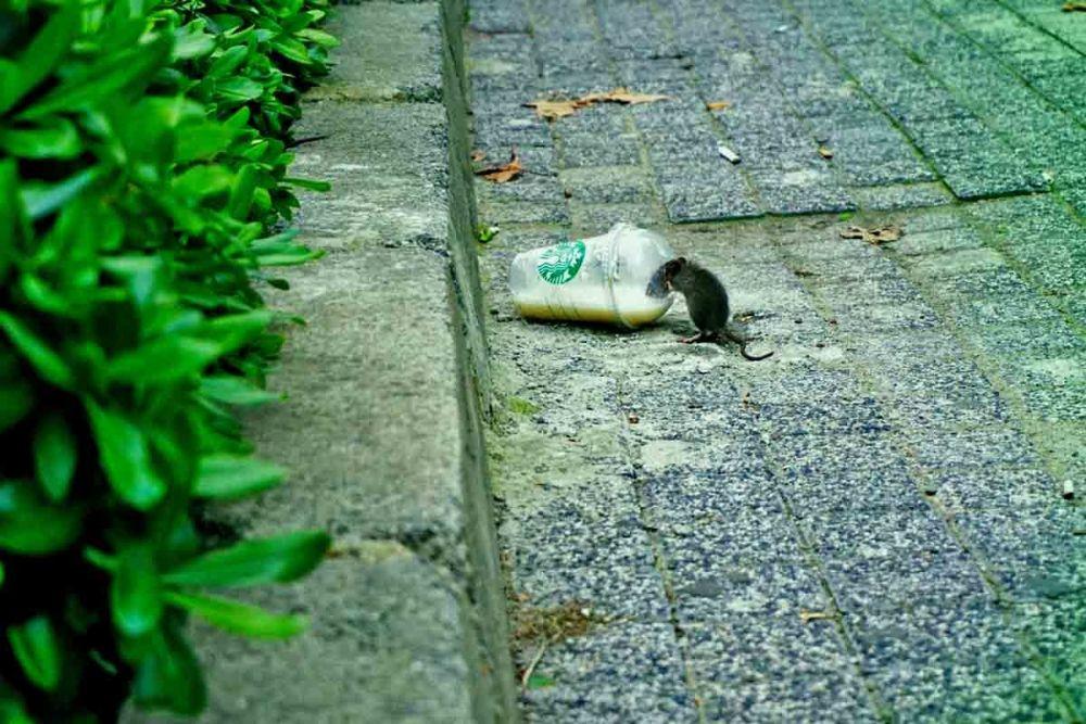 Εξόντωση ποντικιών με αποτελεσματική μυοκτονία